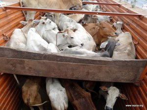 Transport to slaughter conditions ( Credit Source vspca.com)