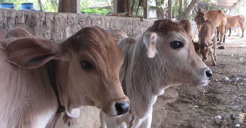 Image result for cow shelter in india